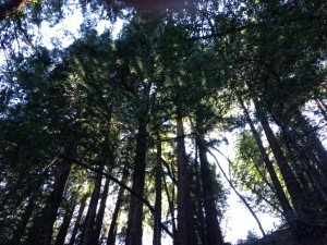 Redwoods, Mill Vallley